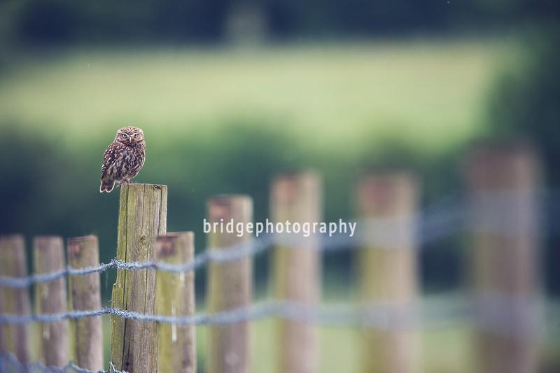 bridgephotography | LITTLE OWLS | Photo 7